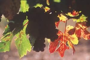 Vignes et garrigues, l'histoire d'un paysage