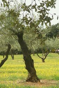 """"""" L'Olivier, l'arbre roi méditerranéen """""""