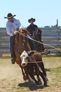 Spectacle de tri du bétail Randals bison
