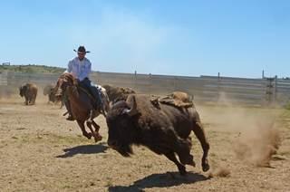 Randals Bison - élevage western