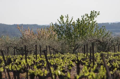 Vignoble et olivettes de Combas ©