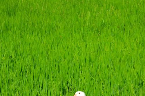 Canard des rizières ©