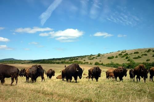 Le troupeau de bisons ©