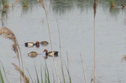 Canards en Camargue ©