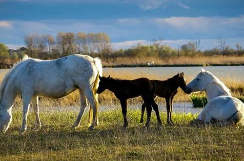 chevaux et poulains de Camargue ©