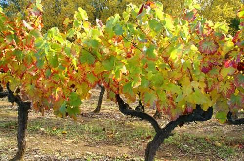 Pied de vigne_automne © St paulet Vignobles