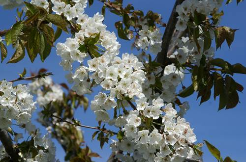 Cerisier en fleur ©