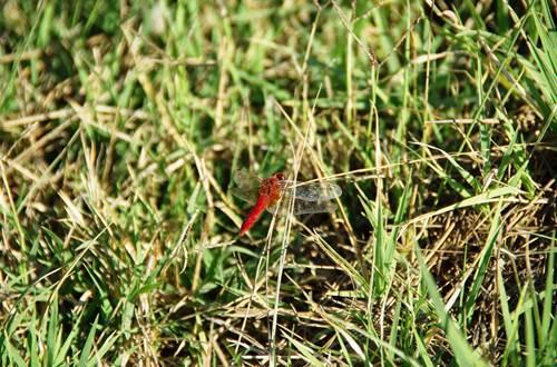 Libellulle rouge de Camargue N1 Pécais 2009 ©