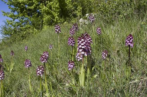 Orchidées pourpres ©
